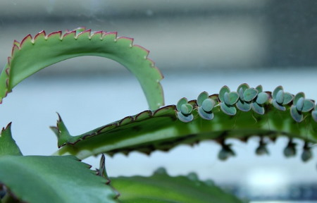 Mother Of Thousands Kalanchoe Daigremontiana