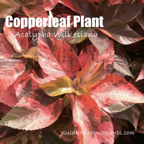 acalypha wilkesiana, copper plant, copperleaf