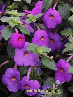 achimenes hot water plant achimenes flowers - Flowering House Plants Purple