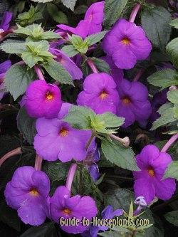 achimenes, hot water plant, achimenes flowers