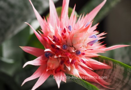 types of tropical flowers, aechmea fasciata, bromeliad