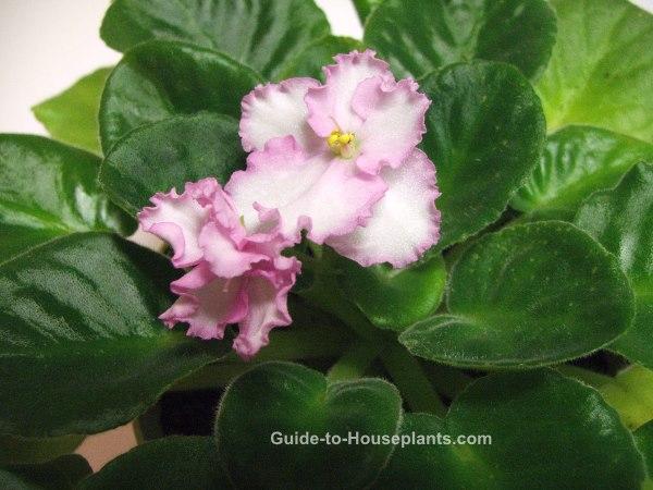 african violet plants, african violet flowers, saintpaulia