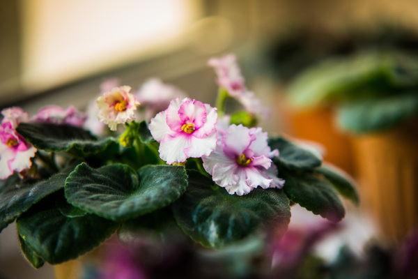 african violet plants, caring for african violets, african violets