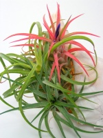 air plant, bromeliad plant, tillandsia cyanea, bromeliad plant care