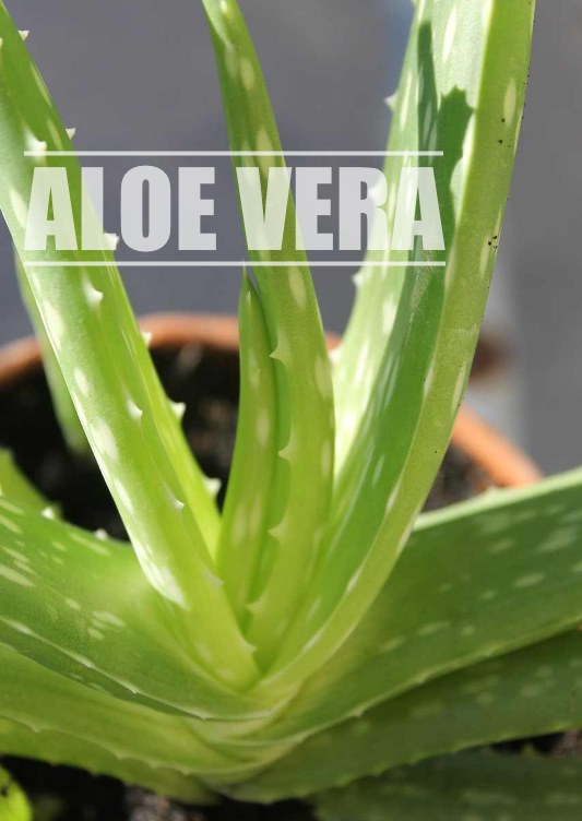 aloe vera, aloe plants, burn plant, growing succulents