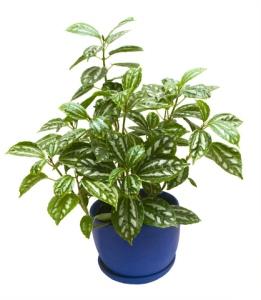 aluminum plant, aluminum plants, pilea cadierei, pilea houseplant
