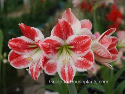 amaryllis, forcing amaryllis, amaryllis care, growing amaryllis