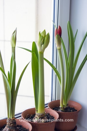 Growing amaryllis indoors forcing bulbs care tips for Amaryllis plantation en pot
