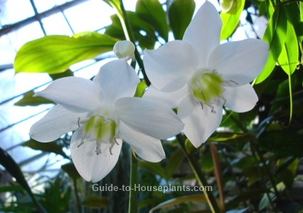 amazon lily plant care  easy type of lilies to grow indoors, Beautiful flower