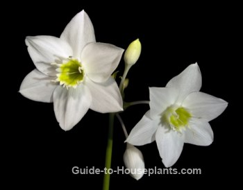 amazon lily, type of lilies, growing lilies, eucharis x grandiflora