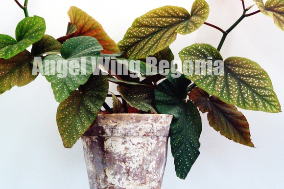 angel wing begonia, begonia house plant