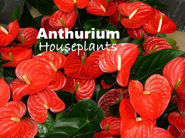 Anthurium Plant Care How To Grow