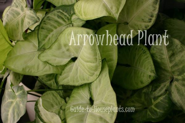 arrowhead plant, syngonium podophyllum, common house plants, house plants