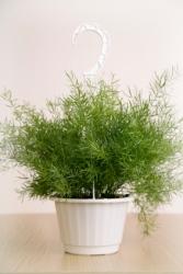 asparagus fern, asparagus sprengeri, hanging basket plant