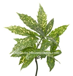 aucuba japonica, japanese laurel, japanese aucuba, spotted laurel, gold dust plant