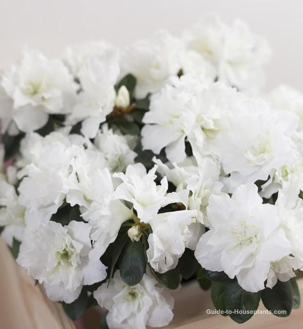 Indoor Azalea Care Tips How To Grow Water Prune This Florist Plant