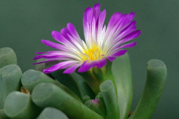 baby toes succulent, rare succulents, fenestraria rhopalophylla