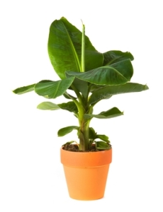 growing banana plants, banana plant care, dwarf banana plants, indoor banana plant