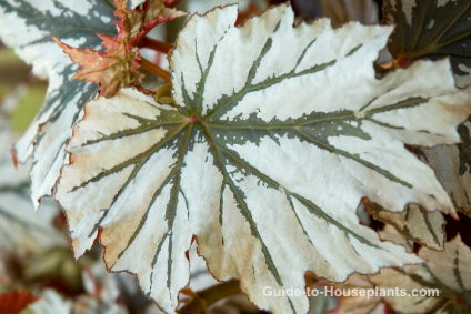 Rex Begonia House Plants Begonia Rex Picture Care Tips