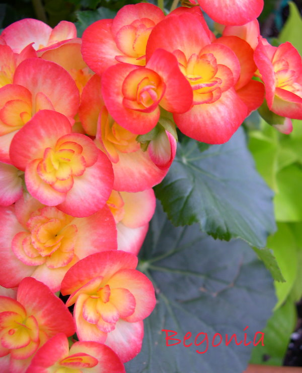 Begonia Care Tips Tuberous Begonia Hybrids