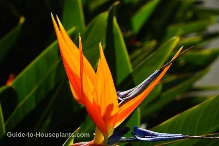 bird of paradise plant, bird of paradise plant care, strelitzia reginae, bird of paradise houseplant, tropical house plant