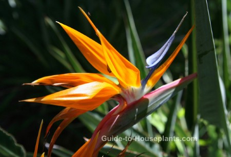 types of tropical flowers, hawaiian flowers, bird of paradise