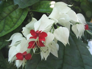 bleeding heart vine, clerodendrum thomsoniae