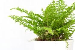 boston fern, common house plants