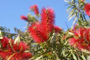 bottle brush plant, crimson bottlebrush
