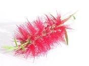 bottle brush flower, crimson bottle brush