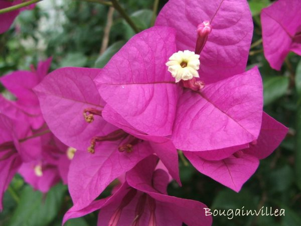 perennial flowering vines, bougainvillea flowers, bougainvillea
