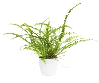 button fern, types of ferns, caring for button fern