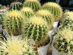 Cactus House Plants Golden Barrel Types Of