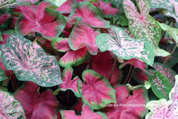 caladium plants, caladium bulbs, caladium varieties, grow caladiums