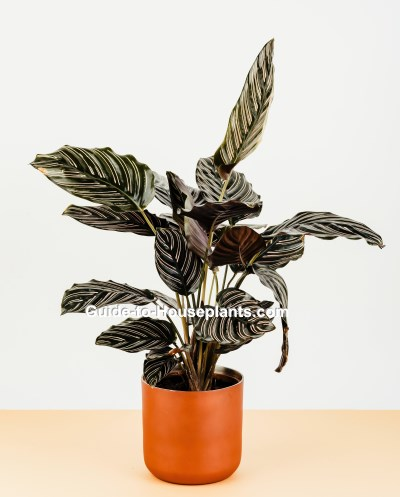 calathea, calathea ornata, calathea plant, prayer plant