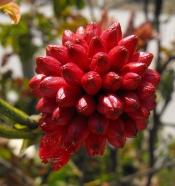calliandra, red powder puff plant
