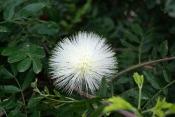 powder puff tree, calliandra haematocephala