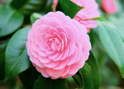 How To Grow Japanese Camellia Plant Indoors Camellia Japonica