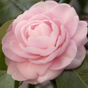 growing camellias, camellia flowers, camellia plant