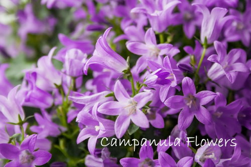 Campanula Flowers Italian Bellflowers As Houseplants