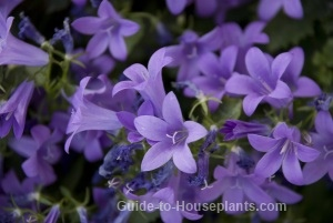 caring for campanula flowers - Flowering House Plants Purple