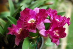 cattleya orchids, flowering house plants