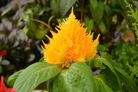 celosia plumosa, yellow flower