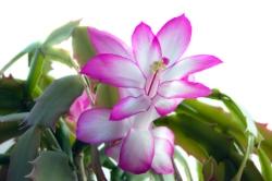 christmas cactus care, flowering indoor plants, indoor flowering plants