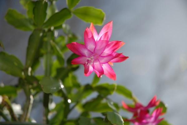 THOR ZENIA 5 Double Segments Christmas Cactus Easy to Grow Schlumbergera