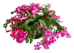 Picture of Christmas Cactus