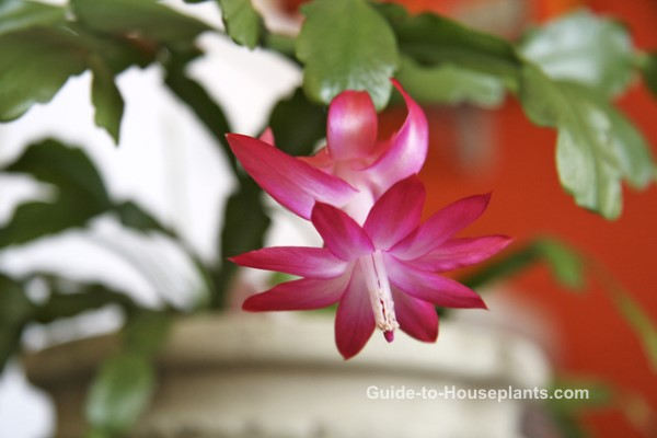 Christmas Cactus Bloom.Christmas Cactus Care And Plant Pictures Schlumbergera