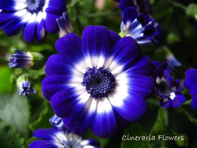 cineraria flower, senecio cineraria, blue flowers