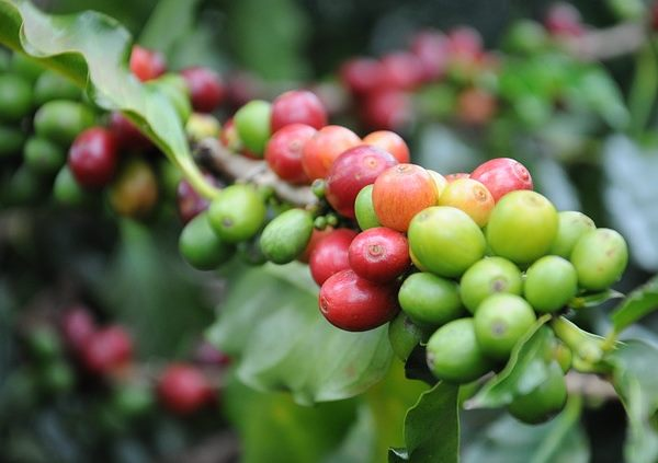 coffee plant, coffee beans, growing coffee
