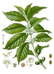 coffee plant, coffee plants, growing coffee plants